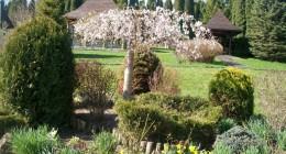 Снова цветут магнолии и сакуры
