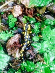 плямиста саламандра